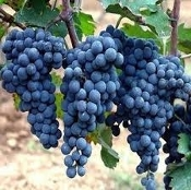 Chilean Wine Grape Preview April 13th 7 - 9 PM